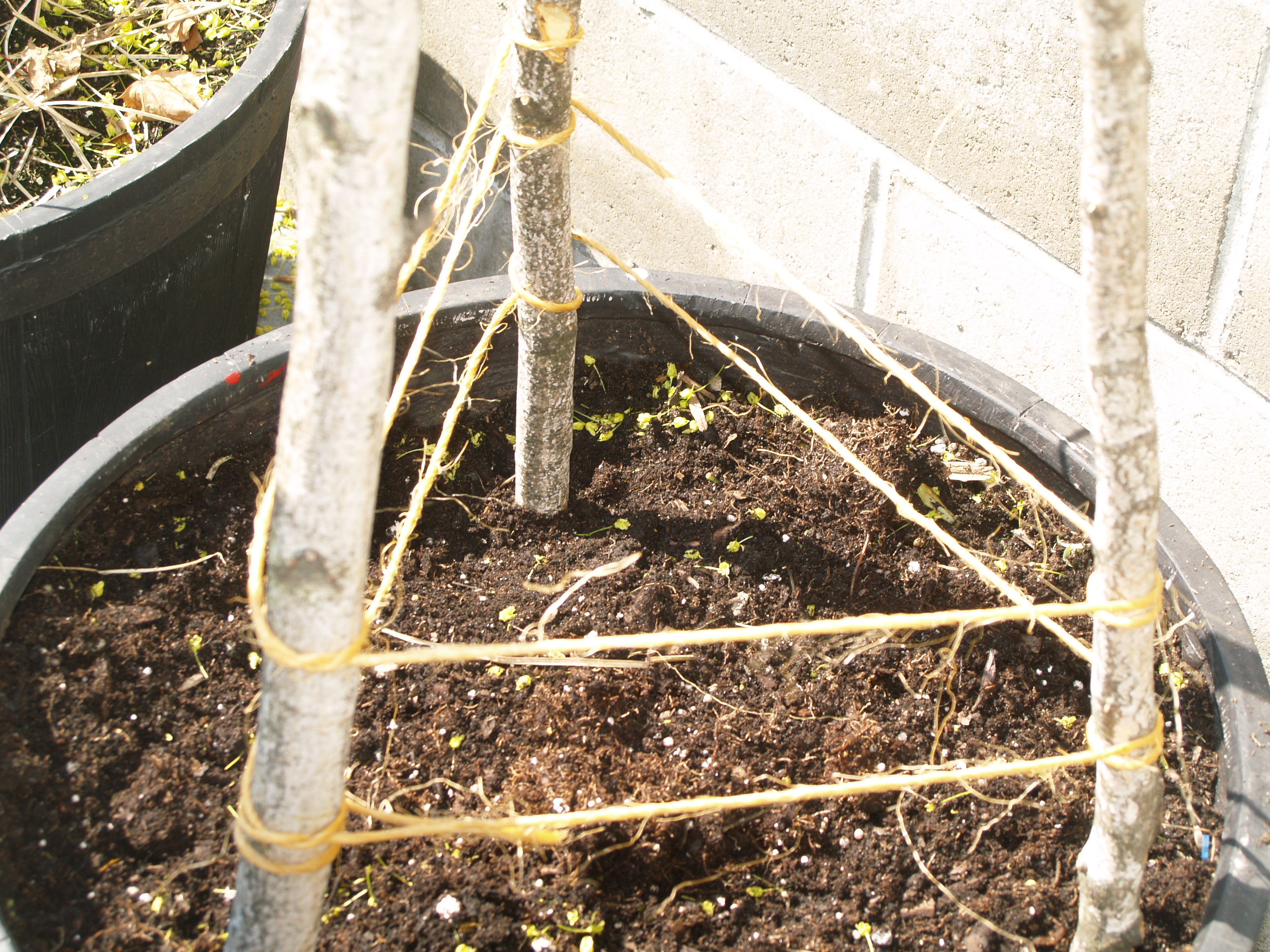 building a cucumber trellis one veggie at a time step