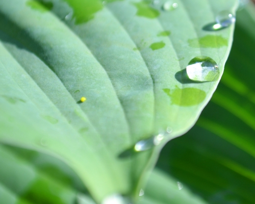 water droplet on a hosta, leaf