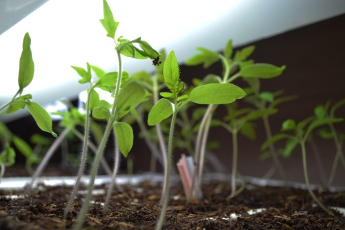 healthy seedlings under the grow light that are ready to thin out