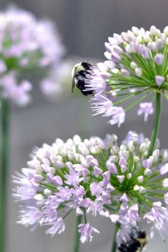 a happy bee on a garlic chive flower