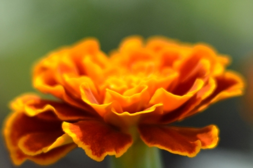 marigolds grown from seed (seeds were started in April indoors)