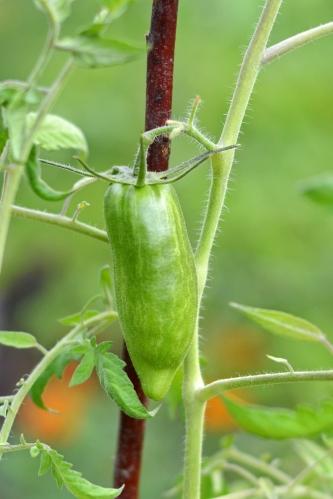 Amish Paste tomato