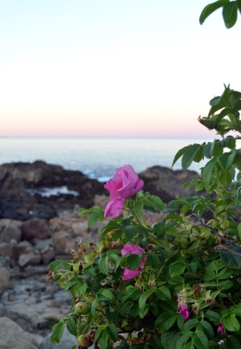 on our way back from Perkins cove as the sun started to set (I've grown really fond of wild roses)