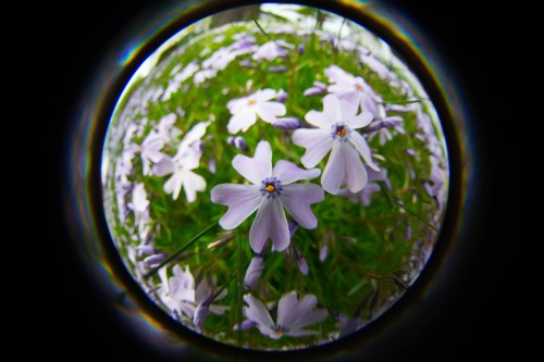 creeping phlox with a Lensbaby Fisheye