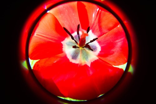 red tulip with the Lensbaby Fisheye