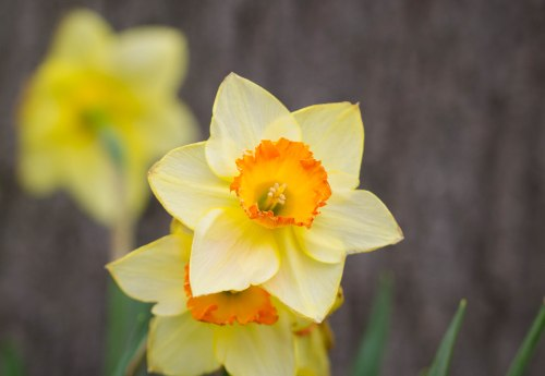 daffodil with Tamron 90mm lens